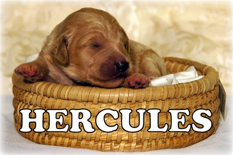 goldendoodle puppies for sale in nc goldendoodle puppies for sale in carolina