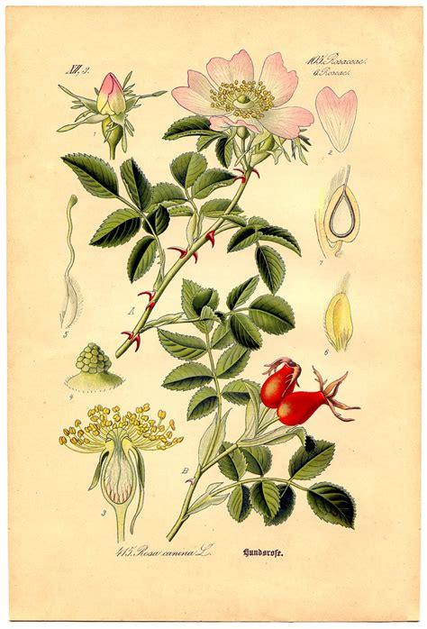 printable botanical images instant art printable wild rose botanical 4 the