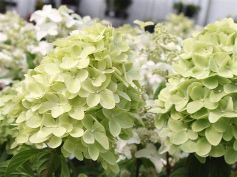 wann schneidet hortensien zurã ck r 252 ckschnitt hortensie hortensie endless summer schneiden