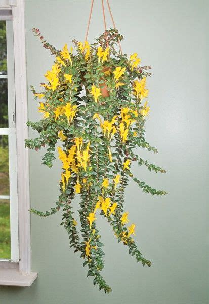 cascading indoor plants 1000 ideas about goldfish plant on pinterest flowering