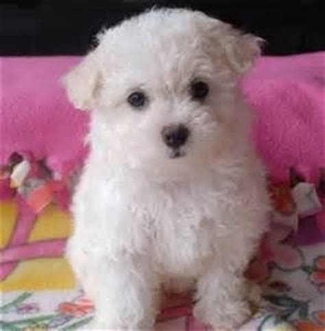white bolognese puppies sale 81 best images about bolognese on dogs image and health problems