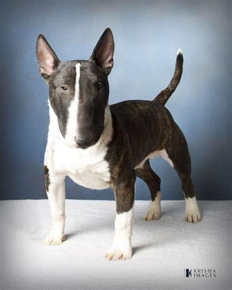 miniature bull terrier pinterest the world s catalog of ideas