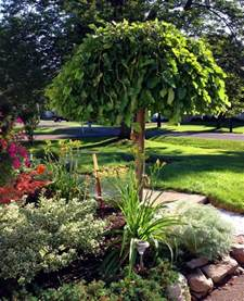 best 25 weeping trees ideas on pinterest