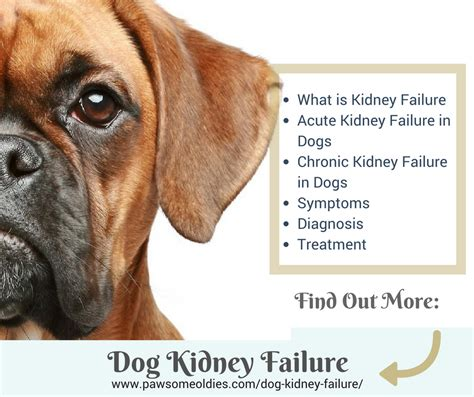 acute kidney failure in dogs kidney failure a guide to acute chronic kidney failure in dogs