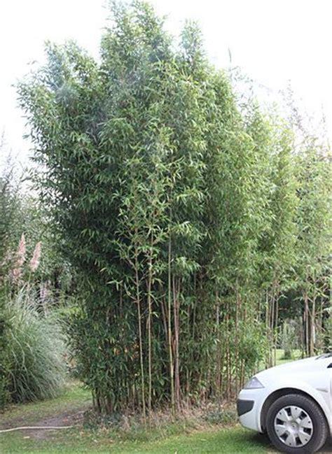 Hohe Pflanzen Als Sichtschutz 1660 by Bambus Pflanzenshop Hoher Bambus 6 12 Meter H 246 He Mit