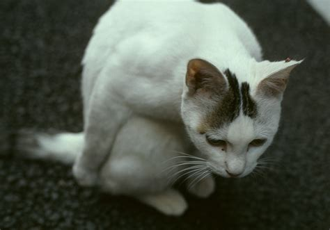 Osanpo Cat Flickr by おじぎ猫 Flickr Photo