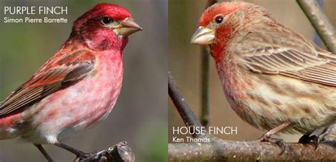 purple finch vs house finch identifying red finches 187 watching backyard birds com