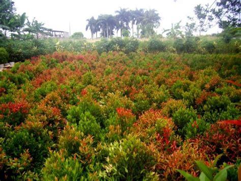 menanam dan budidaya bunga pucuk merah satu jam