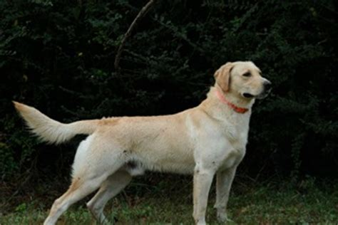 golden retriever pointing pointing labrador retrievers puppies pointing labs for sale lankas labs
