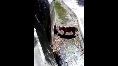 un tigre blanc attaque un homme tombé dans son enclos