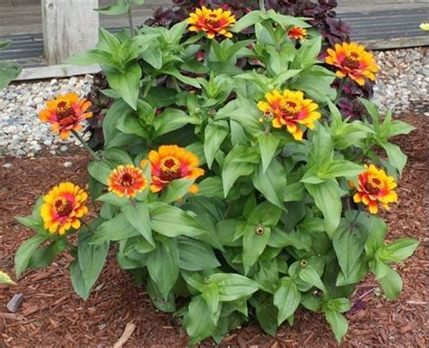 fiori zinnie zinnia piante annuali
