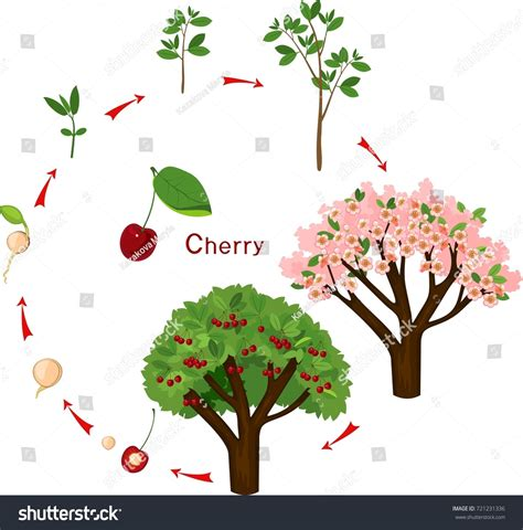 plant growing seed cherrytree life cycle stock vector