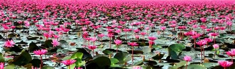 lotus flower thailand lotus lake thailand feel the planet