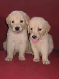golden retriever puppies for sale in kerala golden retriever pups for sale in kerala photo