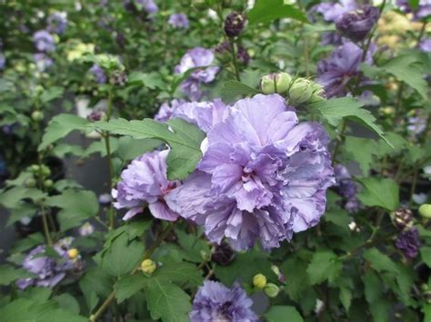 althea plant blueberry smoothie althea ppaf hibiscus syriacus ds01bs shrubs smoothie