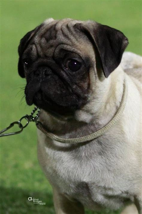 pug breeder perth pug page 143 the universe of animals