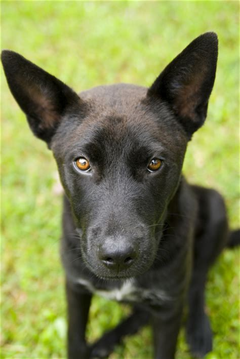 breeds with pointy ears black dogs with pointy ears