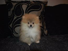 pomeranian panting and shaking pomeranian breed information facts photos care pets4homes
