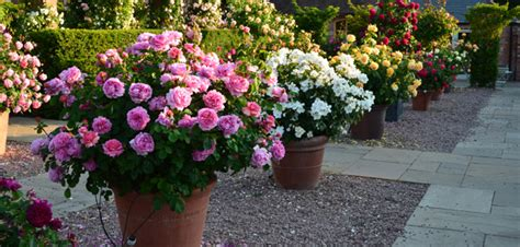 Sale Pot Bunga Mini roses ideal for pots containers david roses