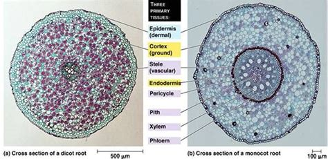 difference between monocot and dicot root cross section image gallery dicot roots