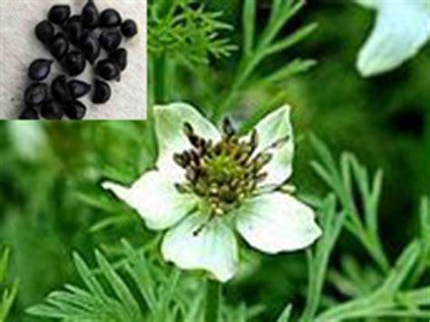 Tanaman Herbal Obat Sipilis obat herbal buat penyakit sipilis