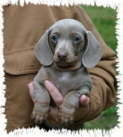 dapple dachshund puppies for sale in houston 1000 ideas about dachshunds for sale on haired dachshund dachshund