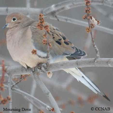 doves north american birds birds of north america