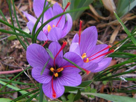 growing and harvesting a saffron crocus crocus sativus