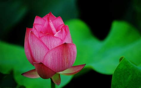 blooming flower blooming lotus theme photography wallpaper 10 flower