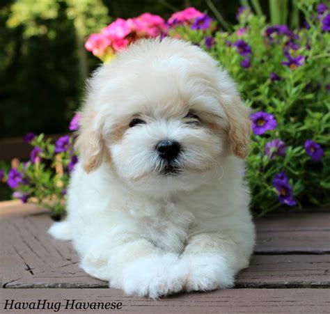 havanese puppies maine havanese puppies alina s room havanese havanese puppies and pup