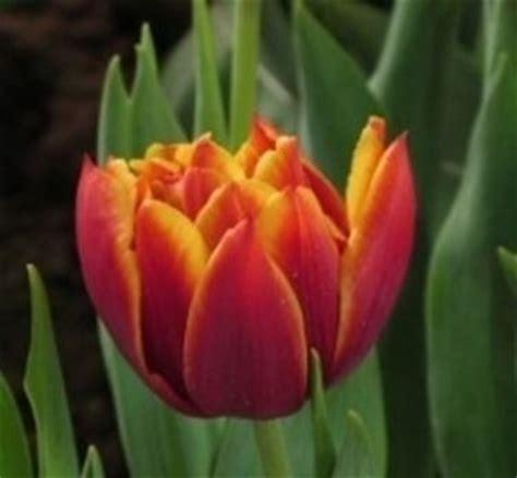 tulipano significato dei fiori significato tulipano significato dei fiori conoscere