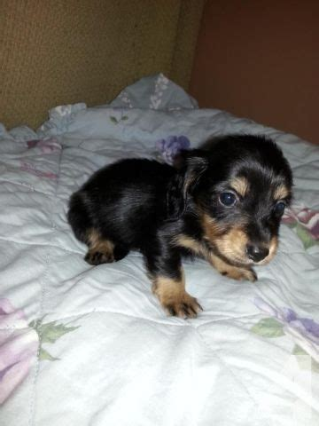 mini dachshund puppies for sale ohio black and mini dachshund puppies for sale in bellville ohio classified