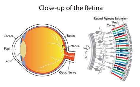retina diagram stem cell therapy for macular degeneration cedar stem