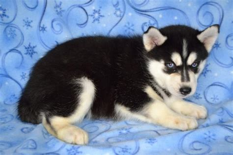 pomsky puppies for sale in mn wonderful pomsky puppies craigspets