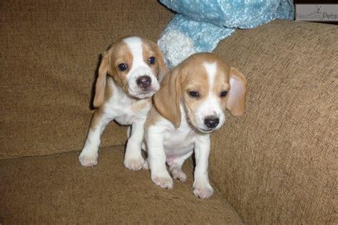 beagle puppies seattle beagle puppy for sale near seattle tacoma washington f8b2f88c 2391