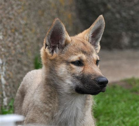 purebred czechoslovakian wolfdog puppies for sale hybrid wolfhound breeds picture