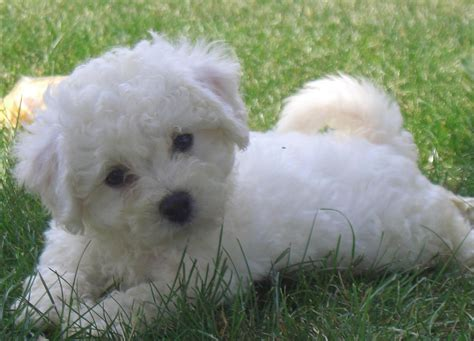 bichon puppy cut the gallery for gt bichon frise puppy