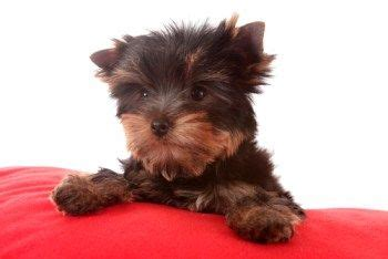 yorkie puppy care the world s catalog of ideas