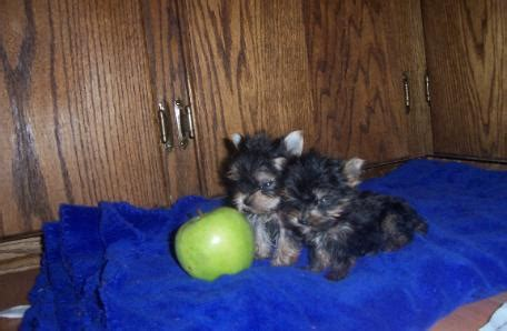 teacup yorkies for sale in amarillo tx pets free classified ads