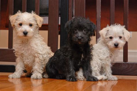 westiepoo puppies westiepoo west highland white terrier poodle mix info puppies pictures