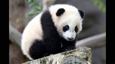 imagenes de animales en extincion top 5 animales en peligro de extincion youtube