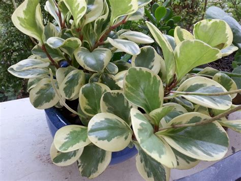 variegated peperomia house plant