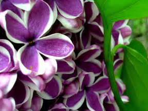 purple lilac flowers images amp pictures becuo
