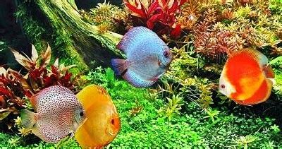 Makanan Pelet Pakan Ikan Hias Cupang Dll Tetra Pro Colour 55gr 250ml panduan memelihara ikan discus untuk pemula ikan hias