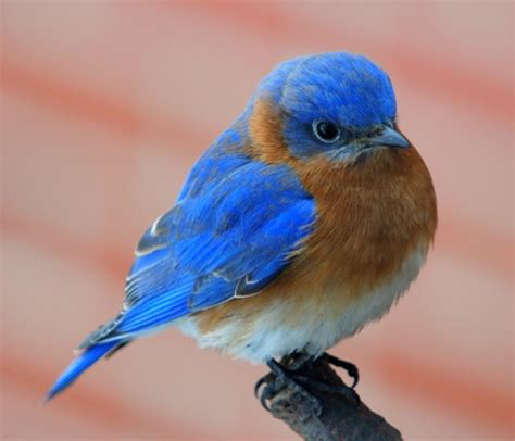 10 facts about bluebirds fact file