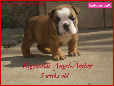 pug kennel kigyosreti bulldog pug kennel bulldog breeder ujkigyos hungary