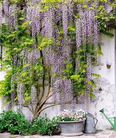 Wall Climbing Plants For Your Garden Wisteria Vine For The Patio Landscape A Magnificent