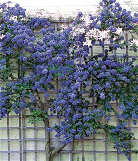 Str Ucher F R K Bel 2584 winterharte kletterpflanzen im k 252 bel kletterpflanzen