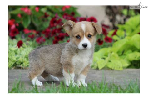 corgi puppies near me corgi pembroke puppy for sale near lancaster pennsylvania e1ad2d62 40d1