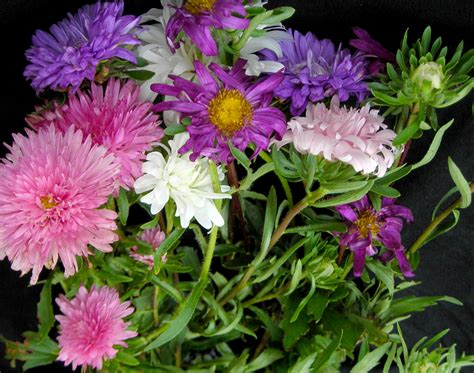 aster crego giant mixed colors   southern exposure